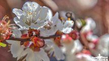 Fiori di albicocco, tra i più belli per le foto