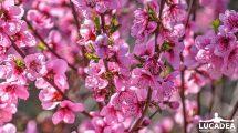 Fiori rosa: un intero albero di fiori spettacolari