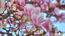 Fiori rosa (foto hdr)