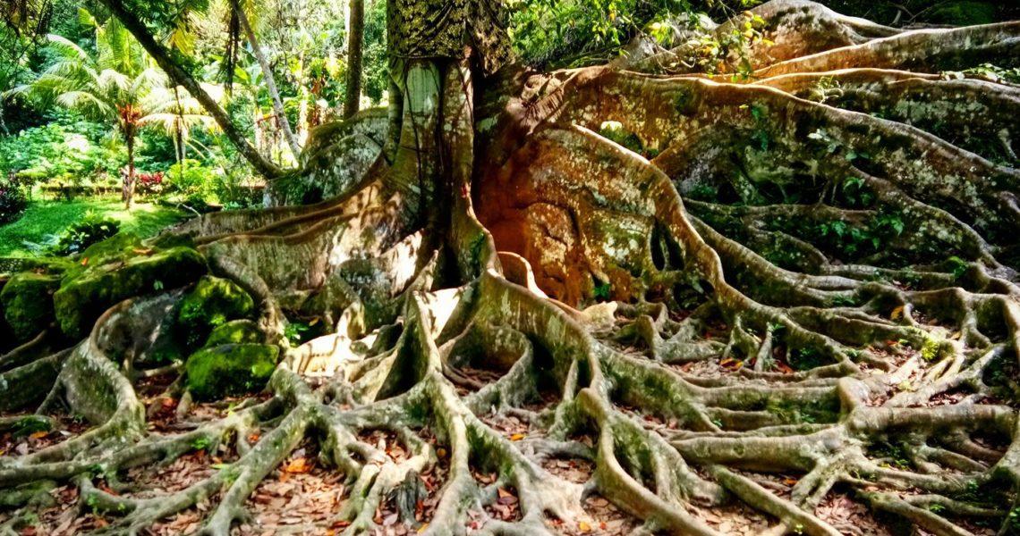 Le radici di un albero a Bali in Indonesia