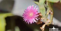 Fiorellino rosa (foto)
