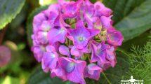 Fiore dell'ortensia