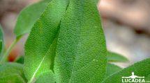 Le foglie della salvia (foto hdr)