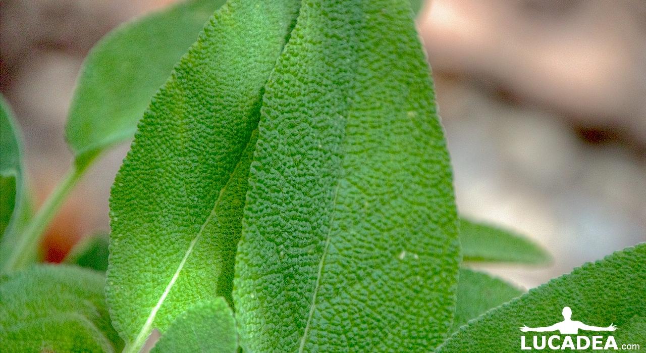 Le foglie della salvia