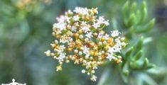 Fiorellini di pianta grassa (foto)