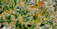 I fiori dell'olivo (foto hdr)