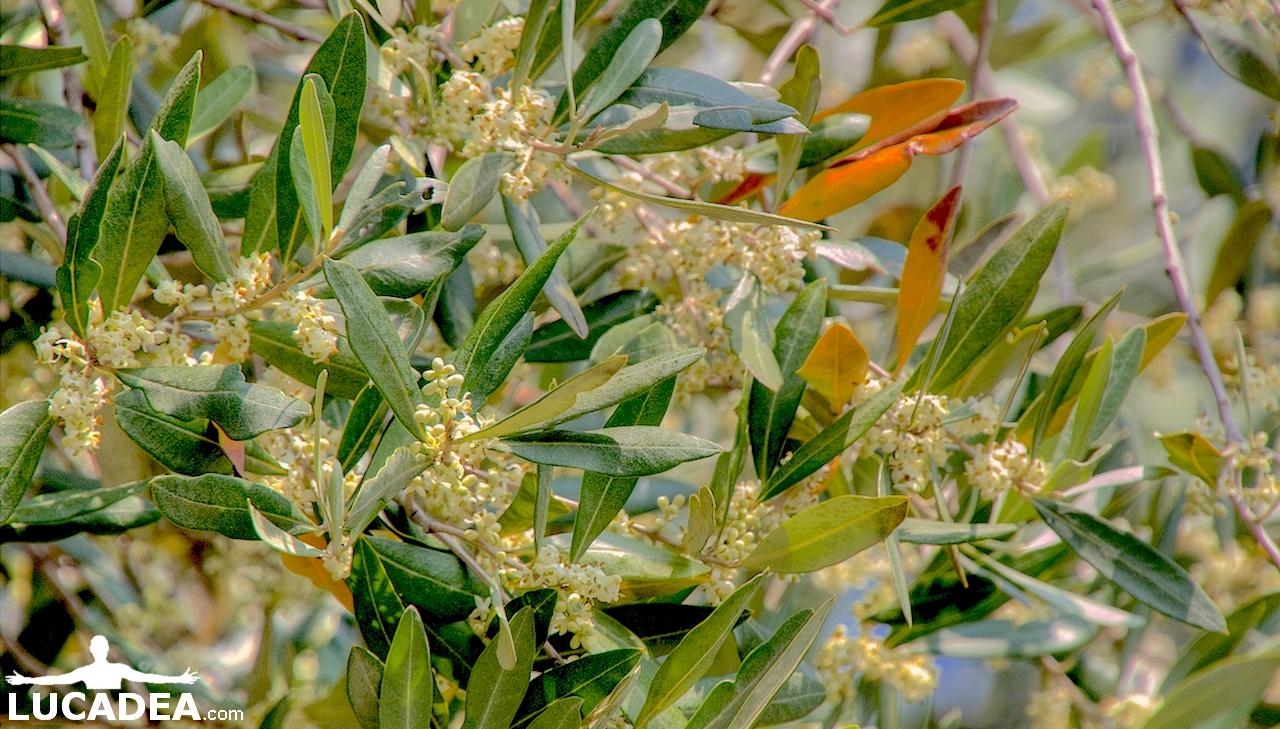fiori dell'olivo