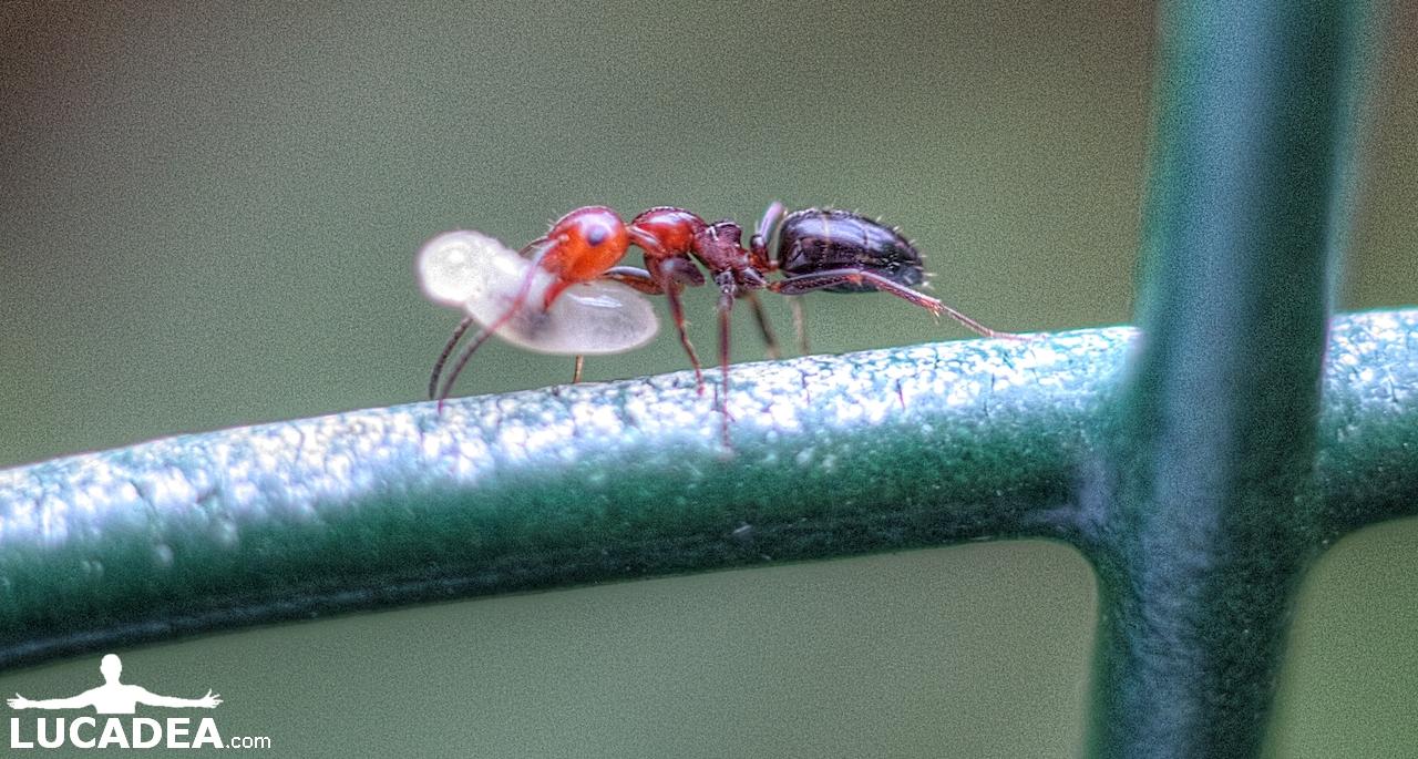 Formica con pupa (foto macro)