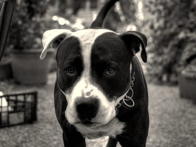 Il mio pitbull Nicco in bianco e nero