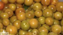 Prugne gialle nostrane per confettura (foto)