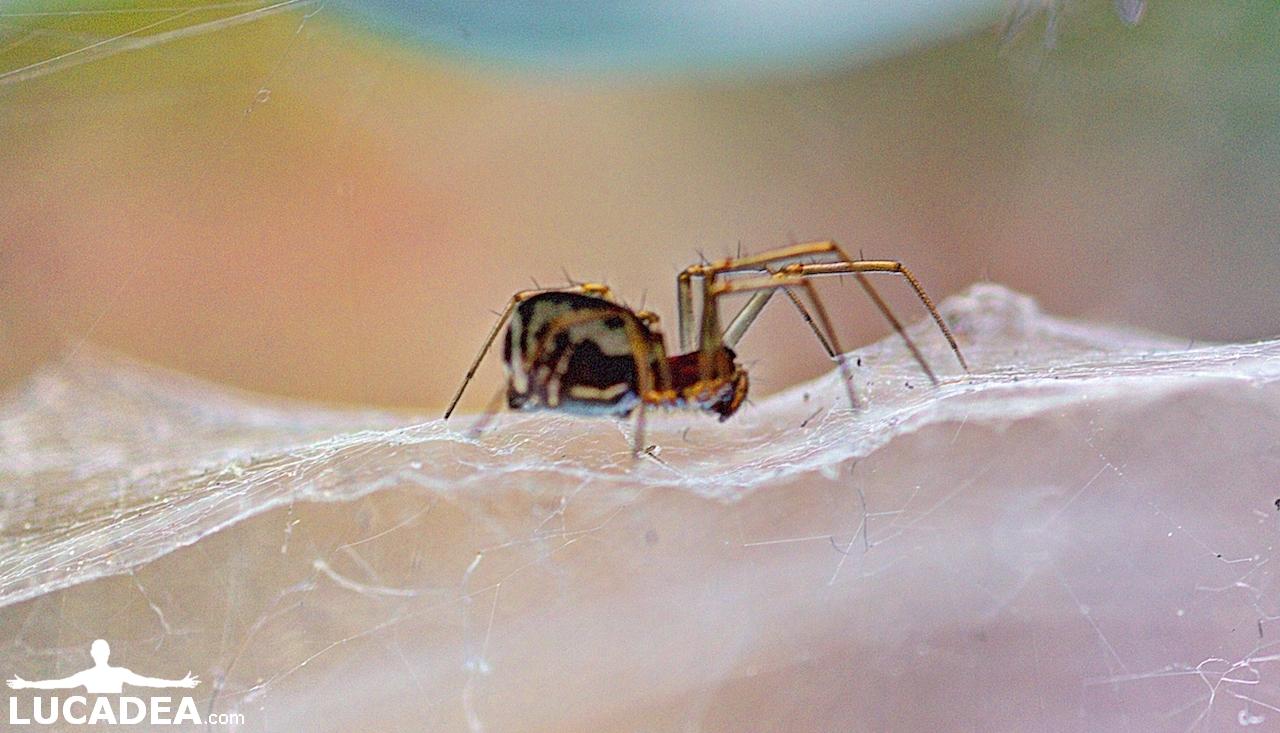 Qualche ragno in giardino (foto macro)