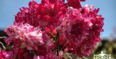 Rose rosa fiorite (foto)