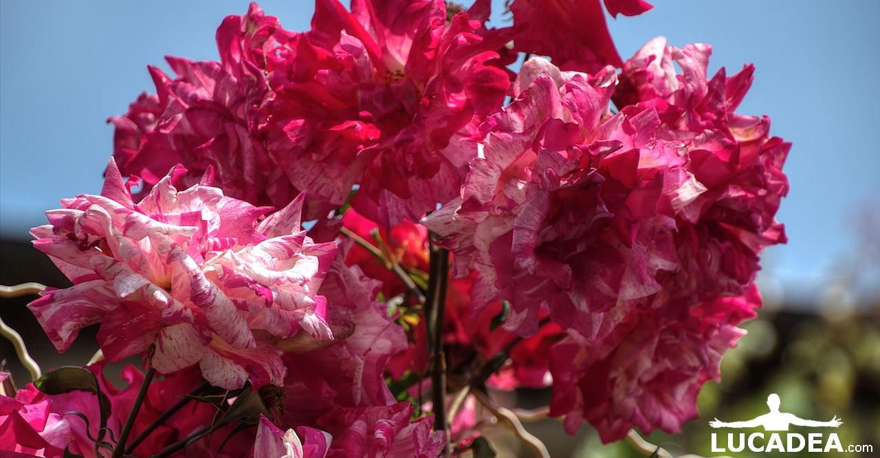 Rose rosa fiorite