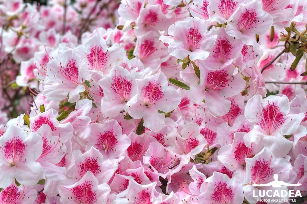 Qualche giorno fa, passeggiando con il mio cane, ho trovato questa bella  pianta, con centinaia di fiori bianchi e rosa\u2026 uno spettacolo!