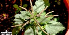 Ortica, pianta dai mille utilizzi