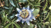 Passiflora: il fiore della passione