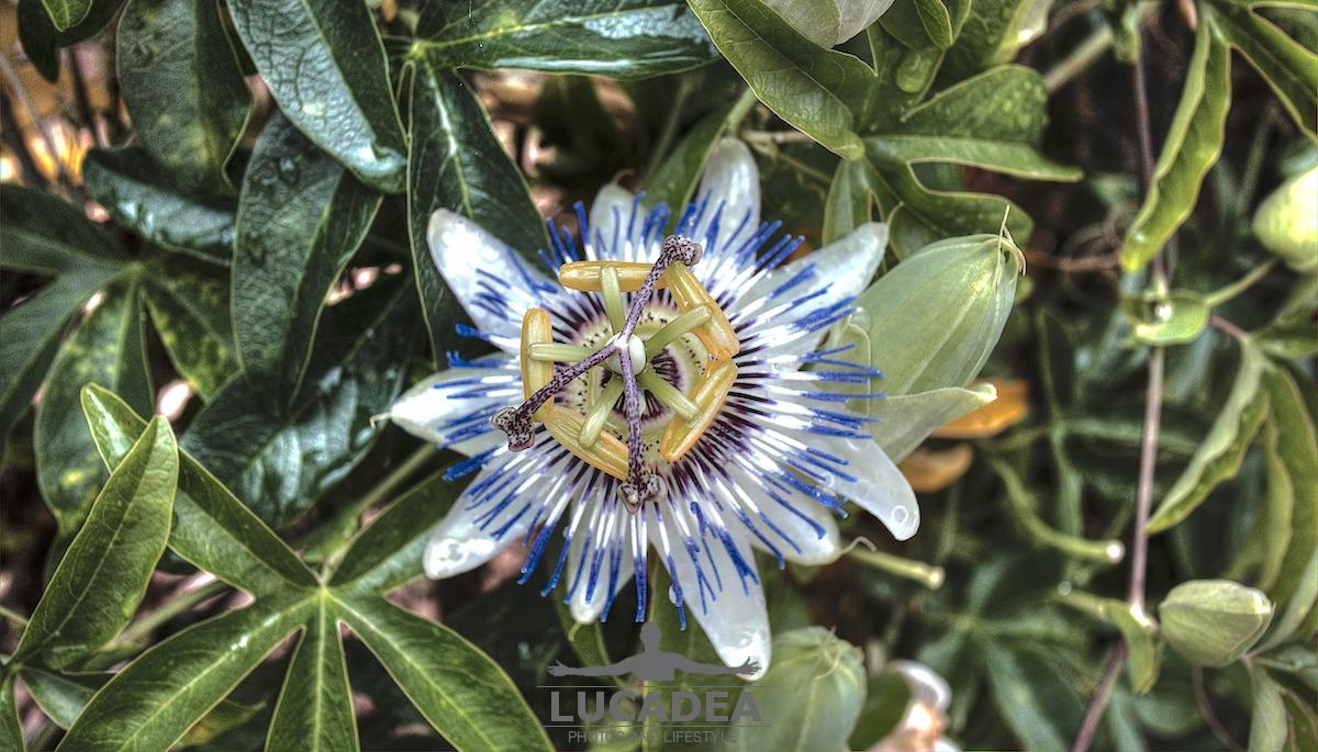 Il fiore della passione