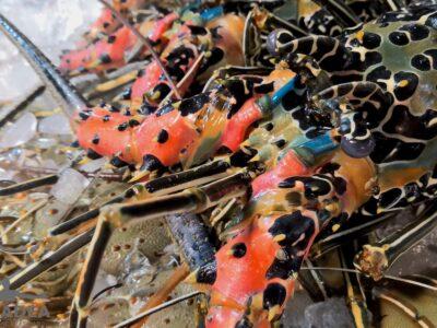 Aragosta colorata