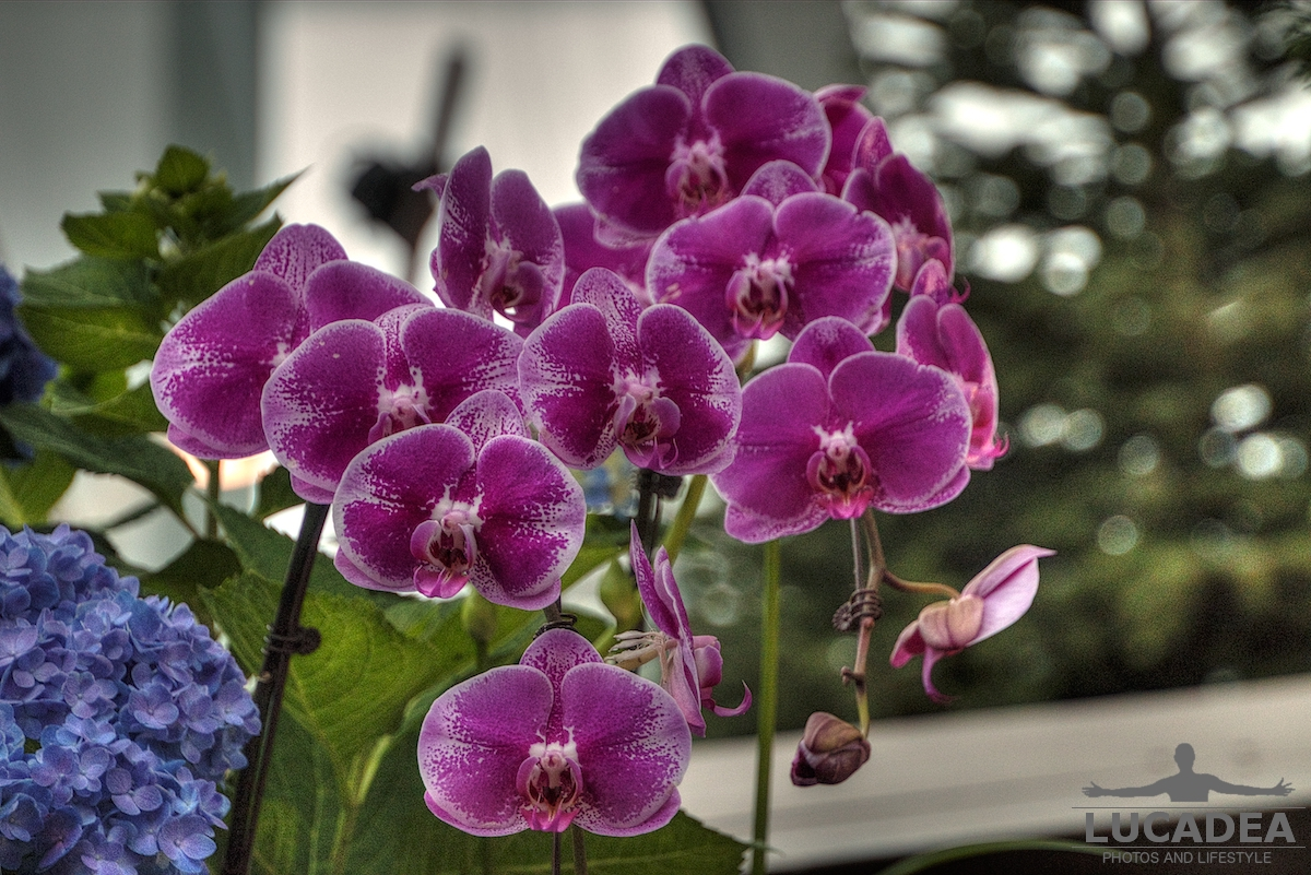 Orchidee a Singapore