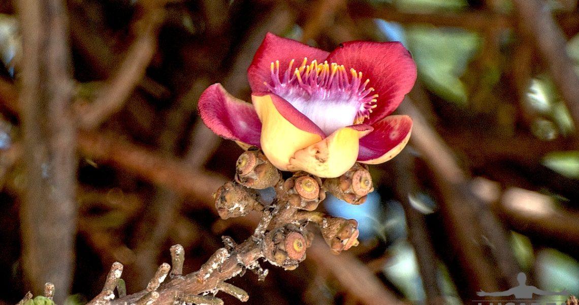 Fiore dell'albero delle palle di cannone