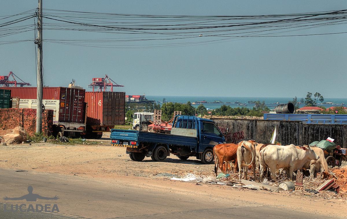 Mucche per strada in Cambogia