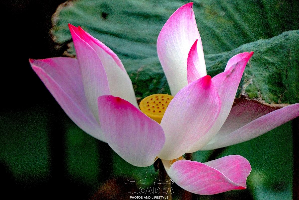 Fiore di loto in Vietnam