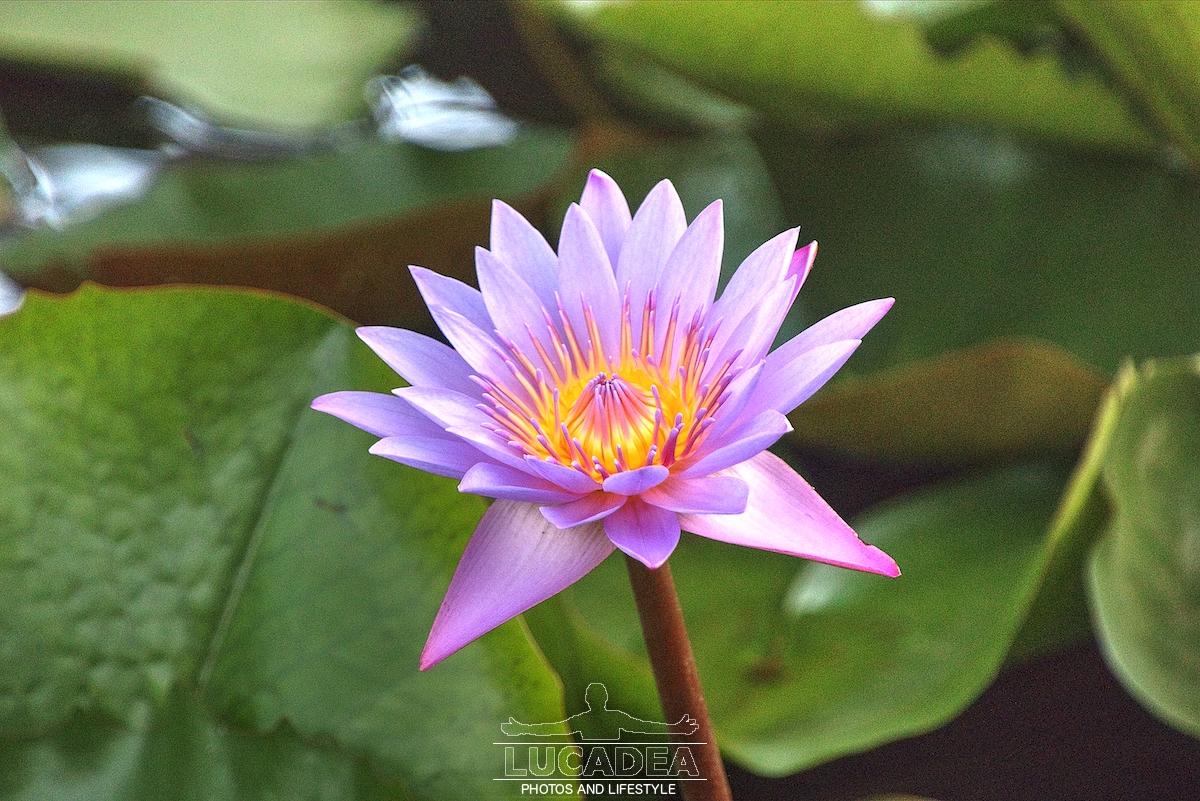 Ninfea, un fiore splendido