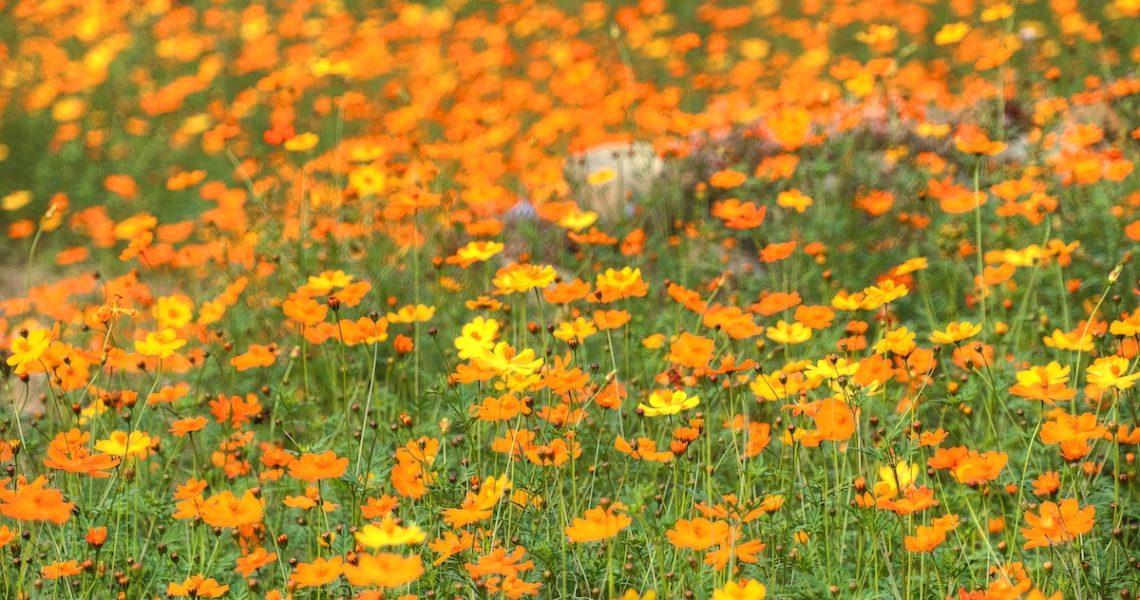 Prato in fiore a Sa Pa