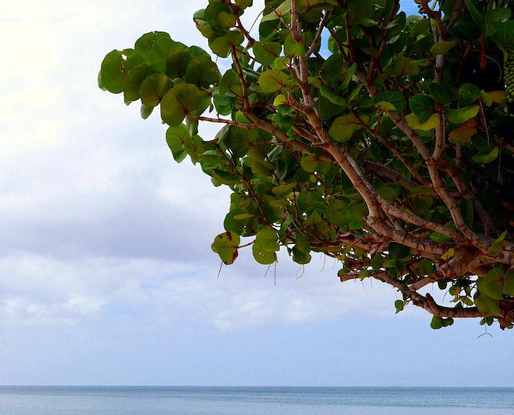 Albero in spiaggia a Grenada 1