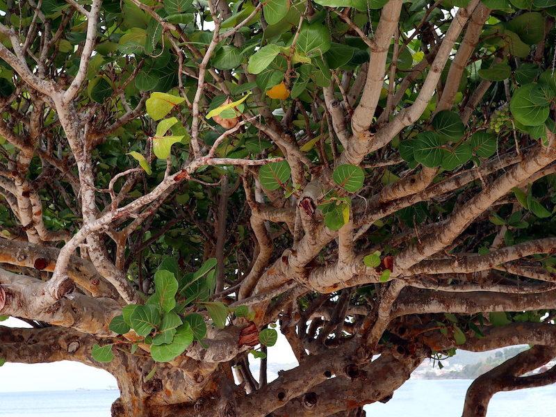 Albero in spiaggia a Grenada 2