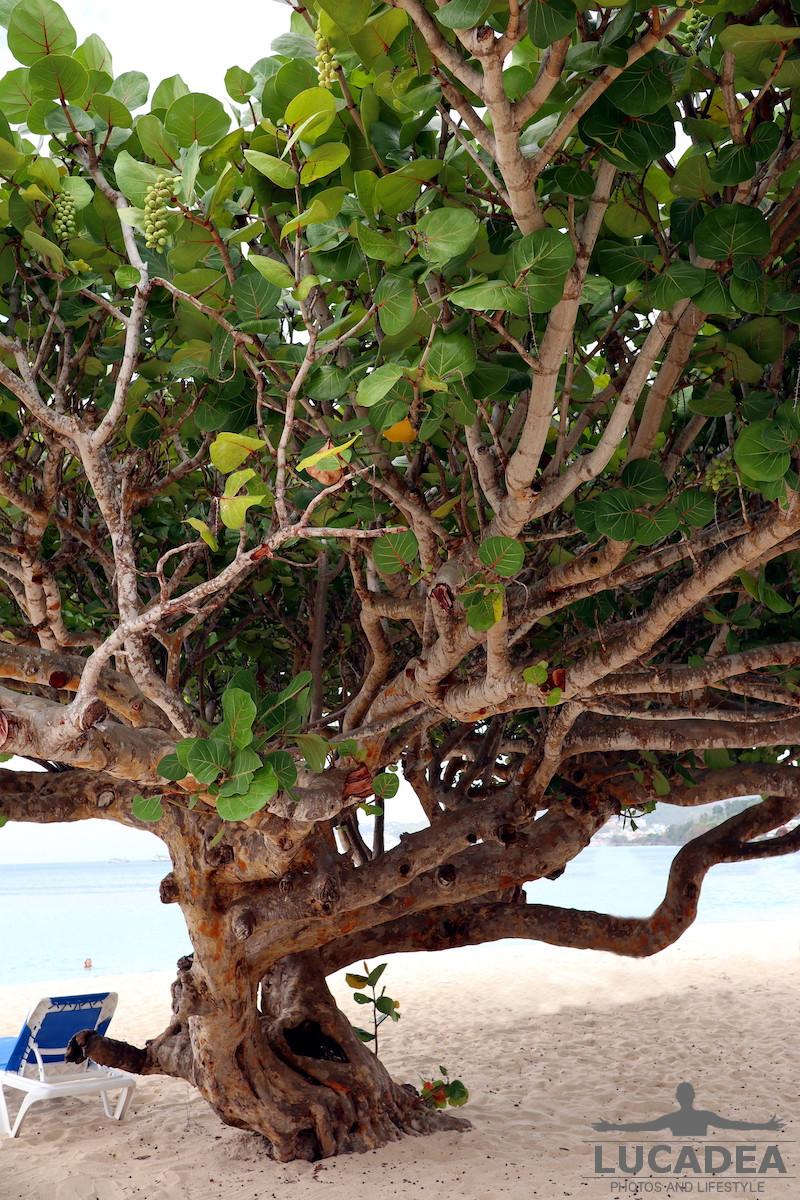 Albero in spiaggia a Grenada