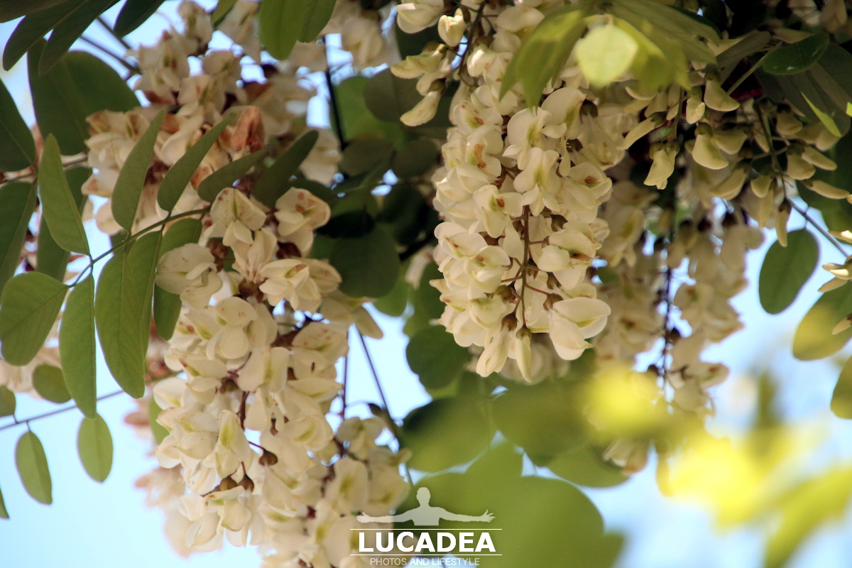 Fiori d'acacia