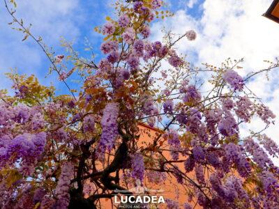 Glicine in fiore a maggio