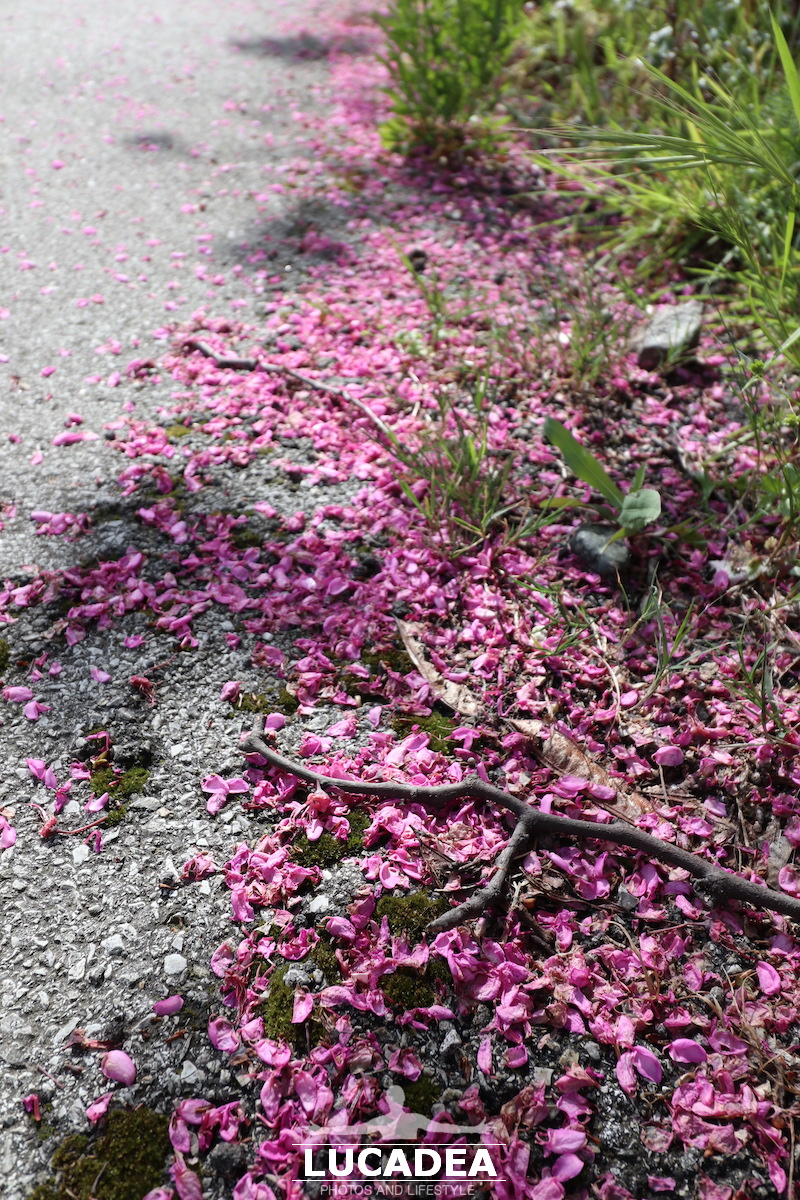 Petali rosa a terra