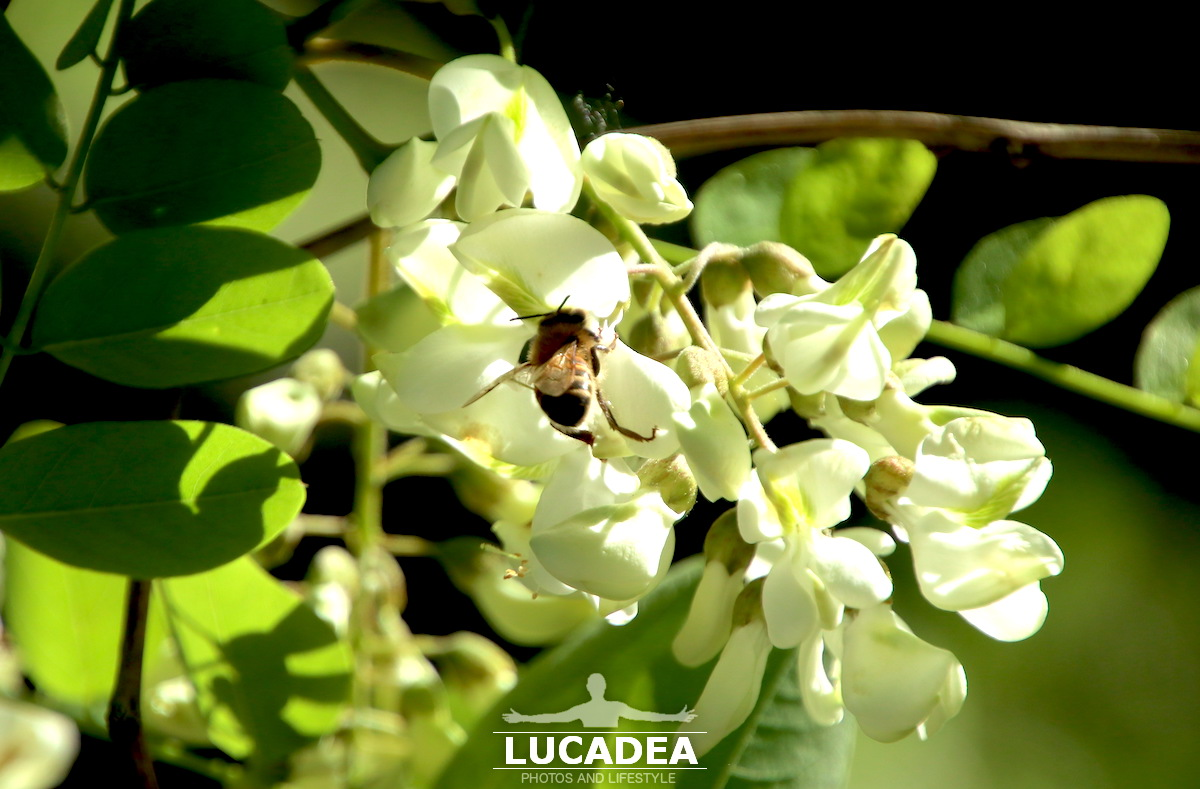 Fiori di acacia e api operose