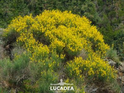I fiori gialli della ginestra