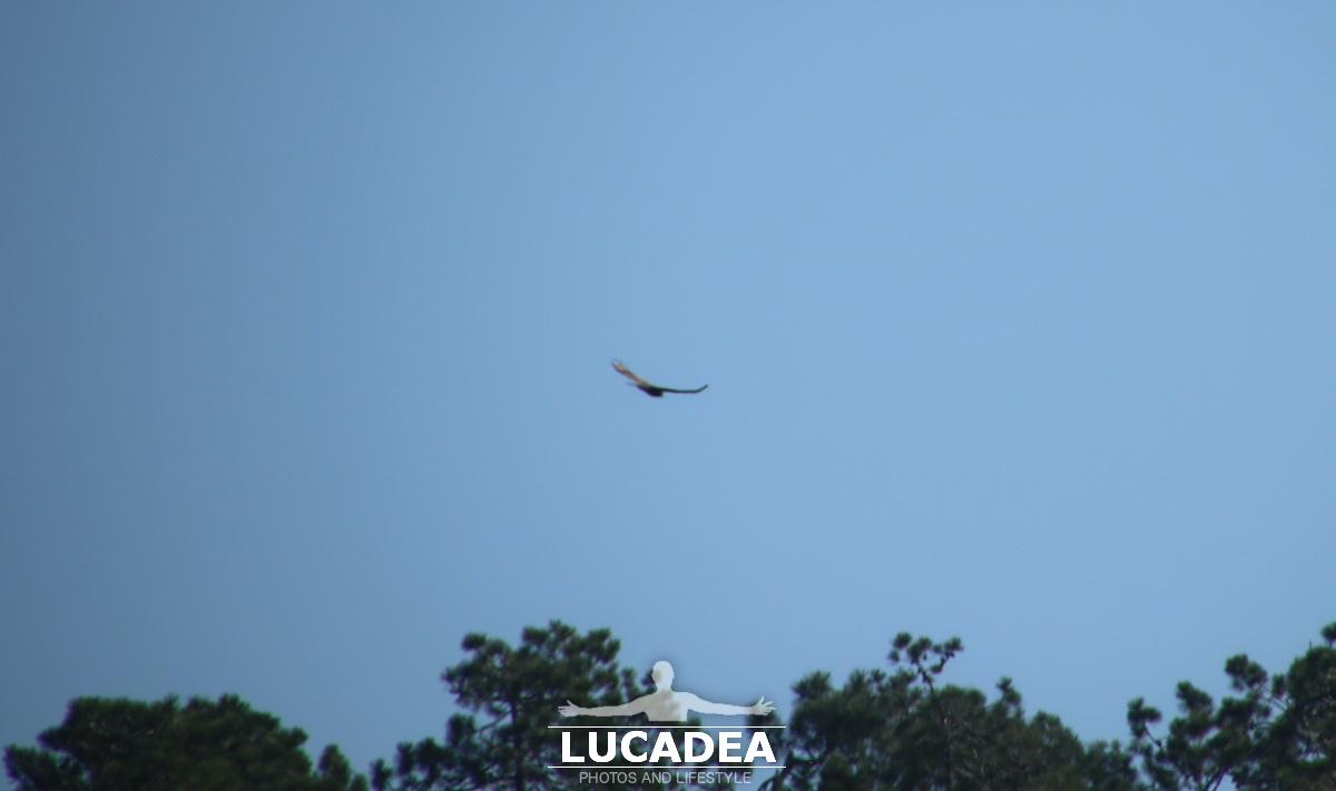 Rapaci in volo sulle alture di Sestri Levante