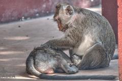 scimmiette Tempio Wat Leu 04