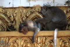 scimmiette Tempio Wat Leu 05